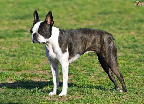 Boston Terrier Dog Breed Information Buying Advice
