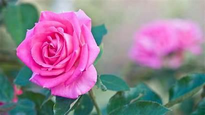 Rose Pink Flower Desktop Wallpapers Flowers Resolution