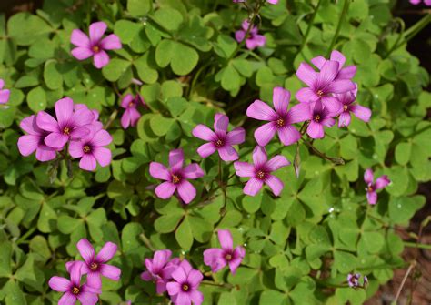 pink garden plants pink wood sorrel not native not to worry the landscape of us