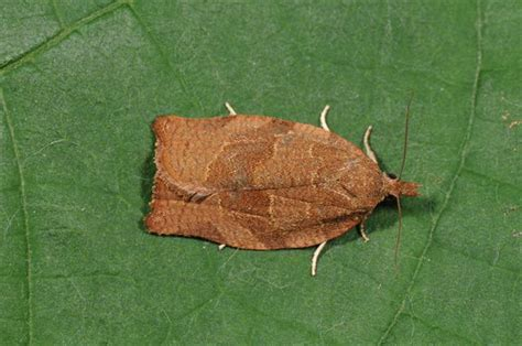 http://www.biopix.com/dark-fruit-tree-tortrix-pandemis-heparana_photo-89382.aspx