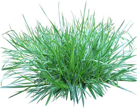 Ornamental Grass Clipart