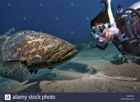 grouper diver goliath scuba jewfish alamy locally meets known