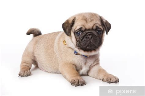 pug puppy  white background wall mural pixers