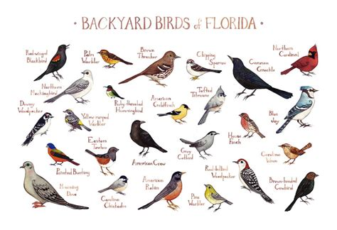 florida backyard birds field guide art print watercolor