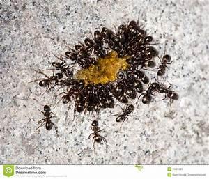 Was Essen Ameisen : ameisen die honig essen stockbild bild von gruppe ~ Lizthompson.info Haus und Dekorationen