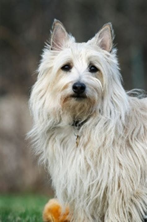 Cairn Terrier Shed Hair that does not shed wallpaper