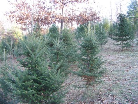 Cut Your Own Christmas Tree In The Lehigh Valley