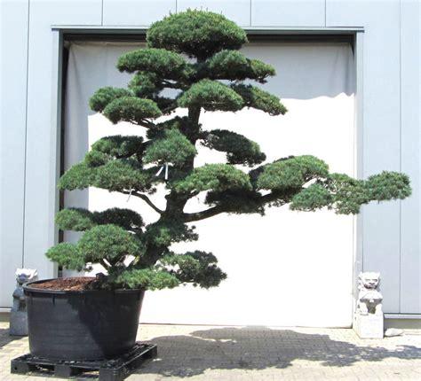 Japanischer Garten Kiefer by Bonsai Garten Bonsai Kaufen Bonsai Baum Garten Kaufen