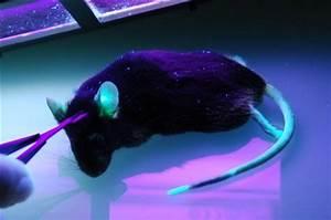 Animales Genéticamente Modificados Genética Técnicos para Bioterio