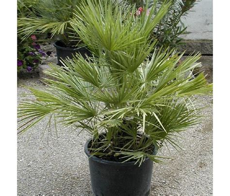 palmen palmen alle arten frosttolerante palmen