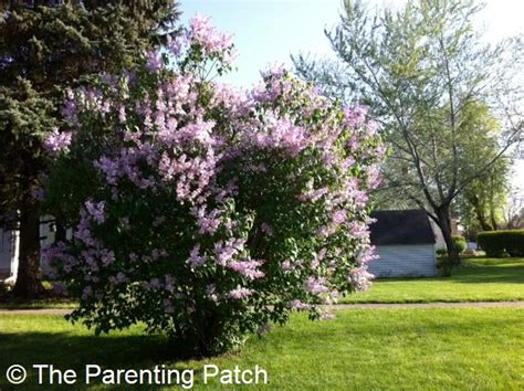 cutting bushes back tips for cutting back overgrown bushes and shrubs parenting patch