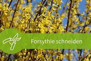 Pflanzen Schneiden Kalender : forsythie schneiden anleitung zum notwendigen r ckschnitt ~ Orissabook.com Haus und Dekorationen