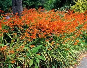 crocosmia planter et cultiver ooreka With modeles de rocailles jardin 4 gypsophile planter et cultiver ooreka