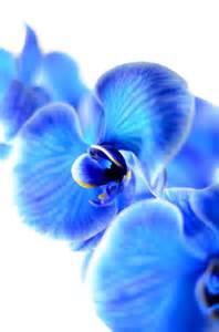 blue dendrobium orchids blue orchids
