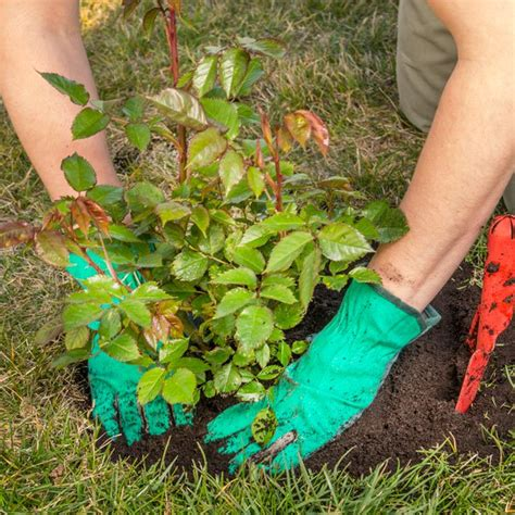 How To Plant Roses In The Garden  Planet Natural