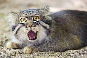 Où l'on découvre que le chat de Pallas mord madame pendant ...