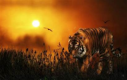Tiger Wallpapers 1080p Backgrounds Tigers Animal Animated