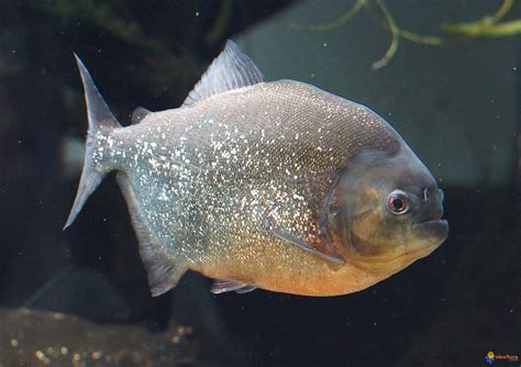 photo poisson d aquarium piranha