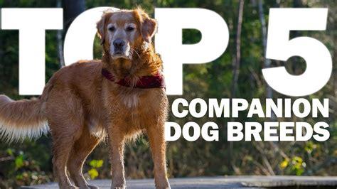 top  companion dog breeds youtube