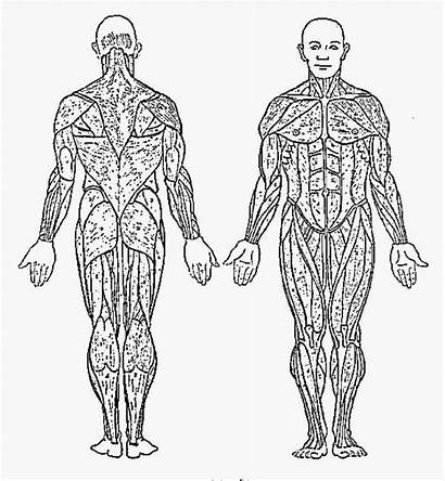 Coloring Muscular Pages System Anatomy Muscle Muscles
