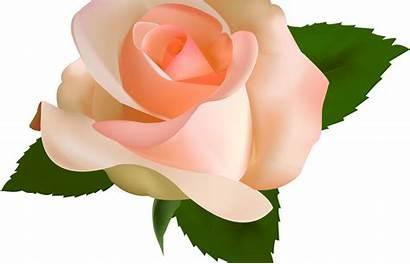 Peach Clipart Rose Transparent Flower Pencil