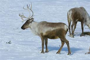 Tundra Animals Caribou