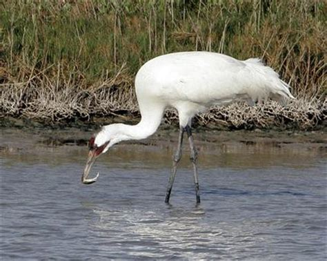 death rate spikes  migrating whooping cranes
