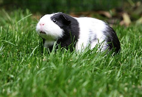 heat ls for pigs guinea pig heat stroke how to prevent and treat