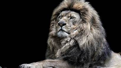 Lions Lion Nature Wallpapers Awesome