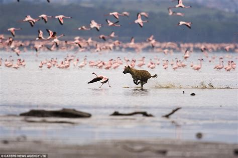 pictured  incredible moment  hyena attacks  flock