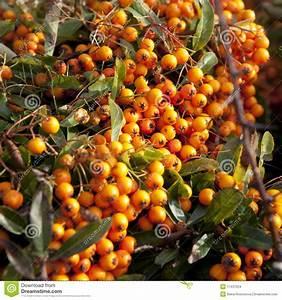 Arbre A Fruit : arbre avec les fruits oranges images stock image 17431024 ~ Melissatoandfro.com Idées de Décoration