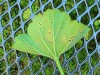 Geranien Gelbe Blätter : krankheiten bei geranien infektionen von pelargonien ~ Orissabook.com Haus und Dekorationen