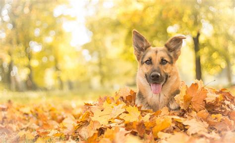 Fall Backgrounds Dogs by German Shepherd 4k Ultra Hd Wallpaper Background Image