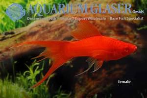 Xiphophorus hellerii Wien Lyra - Aquarium Glaser GmbH