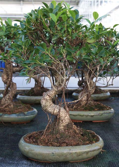 ficus retusa ficus bonsai pinterest ficus bonsai