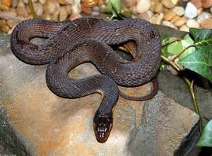 Copperhead Snake Identification Virginia