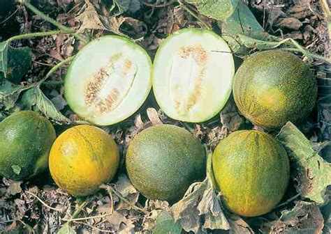 A Guide To Early Melon Varieties