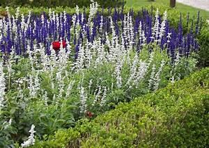 Wann Wird Lavendel Geschnitten : salvia ziersalbei in weiss buchsbaum ~ Lizthompson.info Haus und Dekorationen