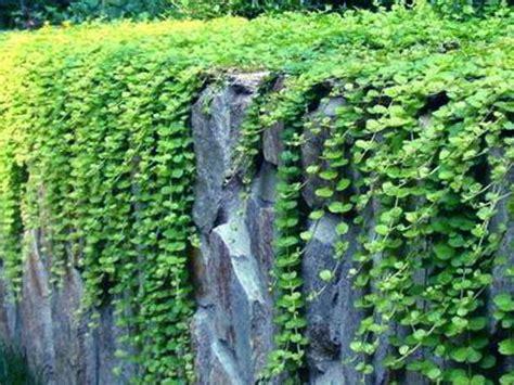 tanaman hias rumput taman 30 jenis tanaman hias untuk taman dinding vertikal beserta