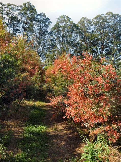 australian native trees gardening with angus