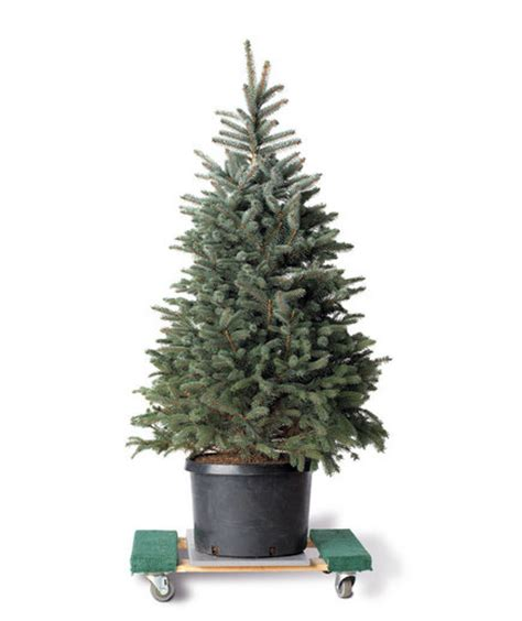 tips   christmas trees real simple