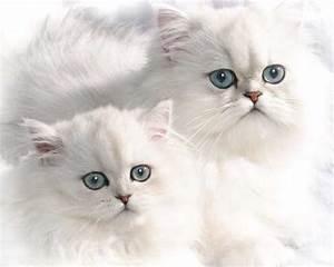 Chinchilla Kedisi – Kedi Türleri – Kedi Bakımı Hakkında ...