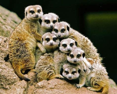 animals zoo meerkats captured animal meerkat moment right amazing funny fotos momento wild stokstaartjes fresh families google baby