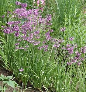 Allium Pflanzen Im Frühjahr : pflanzen vielfalt der saatgut shop stauden samen beet stauden bodendecker wild stauden ~ Yasmunasinghe.com Haus und Dekorationen