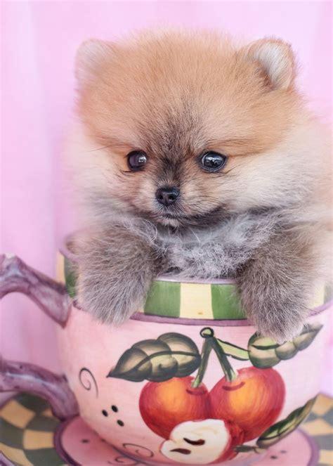 pomeranian puppies for sale teacups
