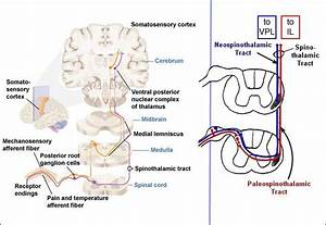 Neuroanatomy Online: Lab 5