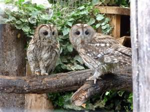 Tawny Owls at Small Breeds Farm and Owl... © Christine ...