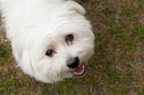 races de chien un bichon maltais vous conviendrait il