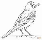 Coloring Robin Bird Pages Draw Drawing Printable Drawings Robins Birds Tutorials Step Supercoloring Colouring Trinidad Beginners Bullfinch Simple Cocorico Paper sketch template