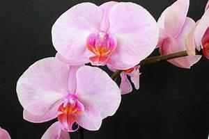 Schöne Orchideen Bilder : ber orchideen arten und die richtige pflege ~ Orissabook.com Haus und Dekorationen